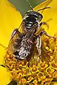 Megachile fidelis? - Halictus ligatus