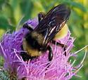 Bumble Bee with Lots of Yellow on Tall Thistle - Bombus pensylvanicus - male