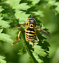 Hoverfly - Spilomyia citima