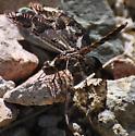 Dragonfly - Pseudoleon superbus