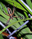 Spider - Argiope trifasciata - female