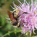 Bee - Bombus pensylvanicus - male