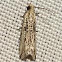 Black-blotched Bactra Moth - Hodges #2705 - Bactra
