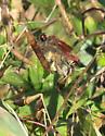 Mating pair of Striped Saddlebags - Tramea calverti - male - female
