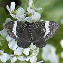Moth - Trichodezia albovittata