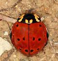 Giant Lady Beetle - Anatis rathvoni