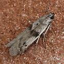 A Pyralid sp. - Homoeosoma deceptorium