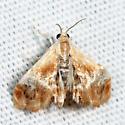 Julia's Dicymolomia Moth - Dicymolomia julianalis