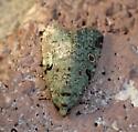 moth - Maliattha concinnimacula