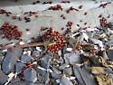 Red bugs - Sehirus cinctus