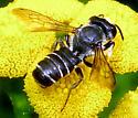 Bee - Megachile pugnata - male