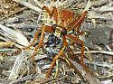 Sarapogon luteus - Saropogon luteus