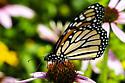 near the milkweed   but in a cone flower - Danaus plexippus