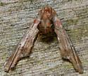 dark marathyssa - Marathyssa inficita