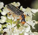 Female of new Podabrus species for BG? - Podabrus latimanus - female