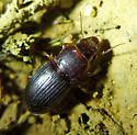 Carabid under rock - Cratacanthus dubius