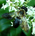 Giant Resin Bee - Megachile sculpturalis - male