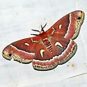 Ceanothus silkmoth - Hyalophora euryalus - female