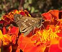 Sachem on marigold - Atalopedes campestris - female