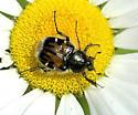 Flower Scarab - unident - Trichiotinus affinis