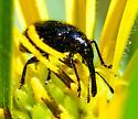 black hairy long-snout weevil - Haplorhynchites aeneus