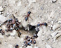 Large ants to be IDd - Camponotus