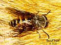 Hybomitra microcephala? - Hybomitra arpadi - female