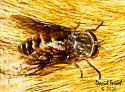 Hybomitra microcephala? - female