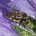 Lace Bug - Dictyla echii - male - female