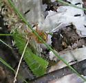 six spotted orbweaver - Araniella displicata