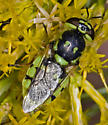 Green Soldier Fly with