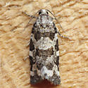 3667 Spring Spruce Needle Moth - Archips packardiana