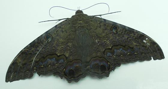 Black Witch Moth - Ascalapha odorata - male
