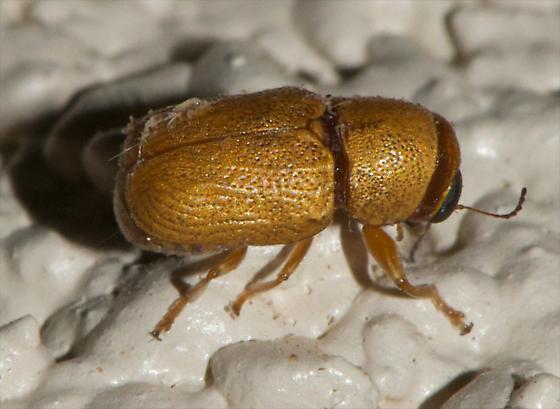 Scriptured Leaf Beetle - Pachybrachis mellitus