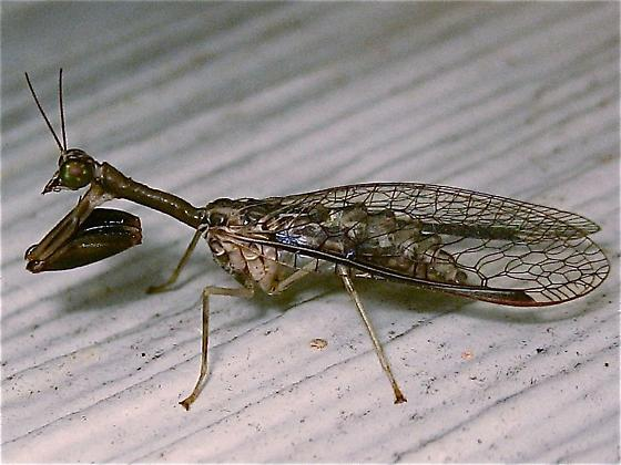 Mantisfly - Dicromantispa sayi - Dicromantispa sayi