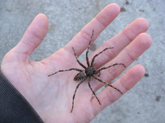 White Banded Fishing Spider Dolomedes Albineus Bugguide Net