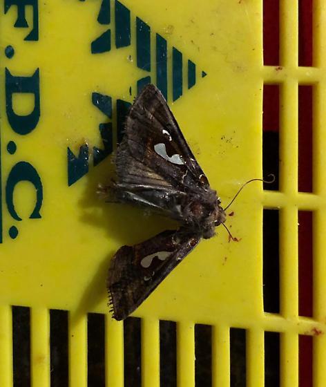 Unknown moth - Megalographa biloba