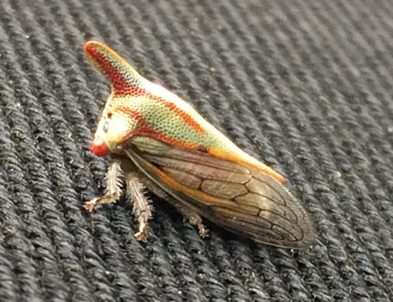 Treehopper #2, with horn - Platycotis vittata