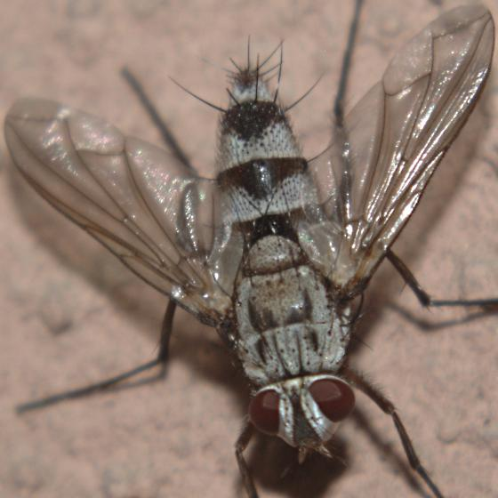 Pale fly with dark bands and red eyes and tip of abdomen - Zelia - female