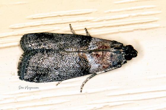 Moth - Sciota subfuscella