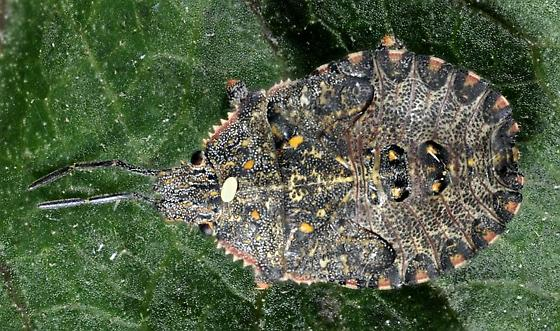 similar to Dusky Stink Bug but pattern & antennae colour different - Brochymena