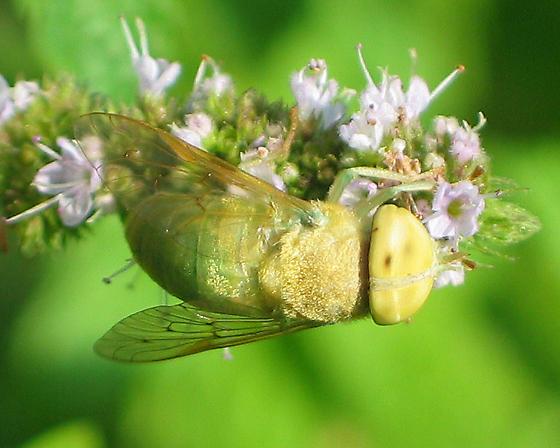 Green Horse Fly - Chlorotabanus crepuscularis - female