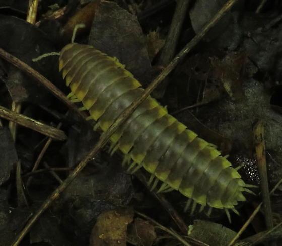 Flat-backed millipede - Apheloria virginiensis