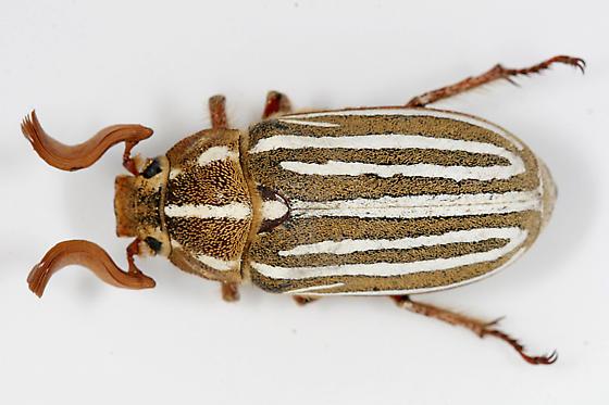 Ten-lined June Beetle - Polyphylla decemlineata