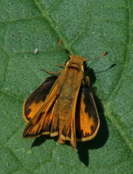 Id please - Hylephila phyleus