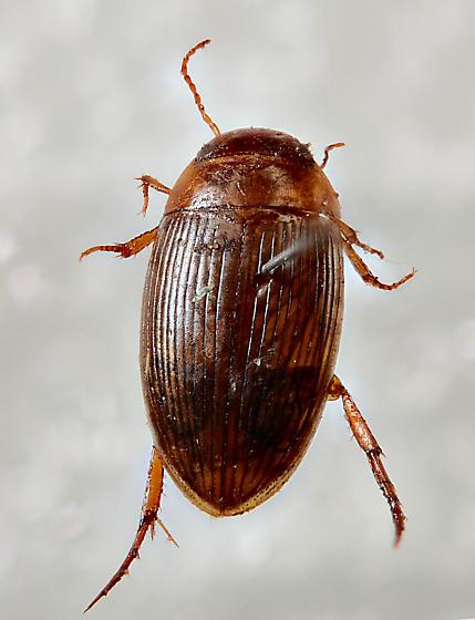 Dytiscid - Copelatus glyphicus