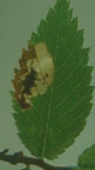 Lake Crabtree leaf miner on Ulmus alata D1088 2018 1