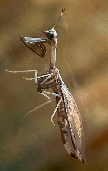 Praying mantiss on a window