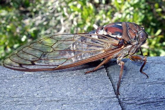 Can someone help ID this cicada? - Megatibicen resonans