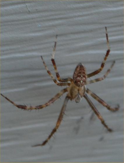 Spidy - Araneus diadematus